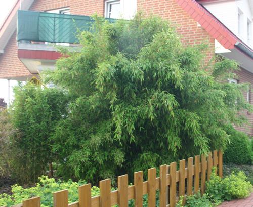 Bambus-Pflanzenshop - Bambus Als Grüner Sichtschutz.