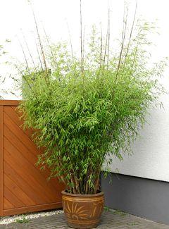 bambus pflanzenshop borinda angustissima kaufen. Black Bedroom Furniture Sets. Home Design Ideas