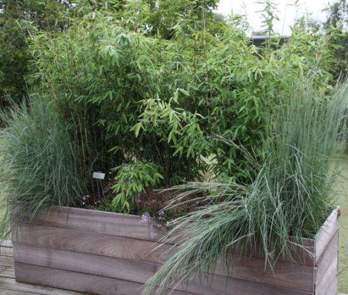 bambus pflanzenshop f r sammler und liebhaber special. Black Bedroom Furniture Sets. Home Design Ideas