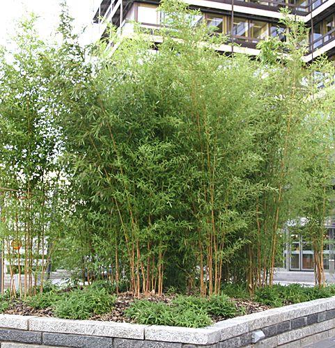 bambus pflanzenshop phyllostachys aureosulcata kaufen. Black Bedroom Furniture Sets. Home Design Ideas