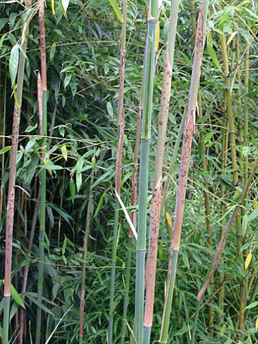 bambus pflanzenshop phyllostachys 4 12 m h he ausl ufer kaufen. Black Bedroom Furniture Sets. Home Design Ideas