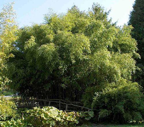 bambus pflanzenshop phyllostachys 4 6 m h he ausl ufer kaufen. Black Bedroom Furniture Sets. Home Design Ideas