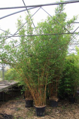 Bambus Pflanzenshop Bambus Fur Innenraume Kaufen