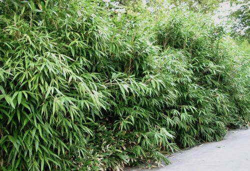 bambus pflanzenshop pseudosasa 2 5 m h he mit ausl ufer. Black Bedroom Furniture Sets. Home Design Ideas