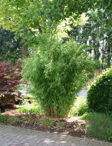 bambus-pflanzenshop - bambushecken ohne ausläufer / nicht, Terrassen ideen