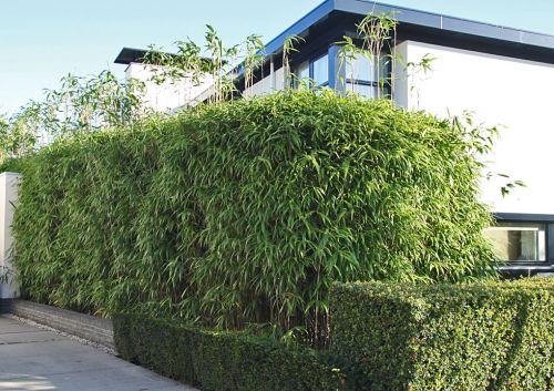 bambus pflanzenshop bambushecken mit ausl ufer. Black Bedroom Furniture Sets. Home Design Ideas