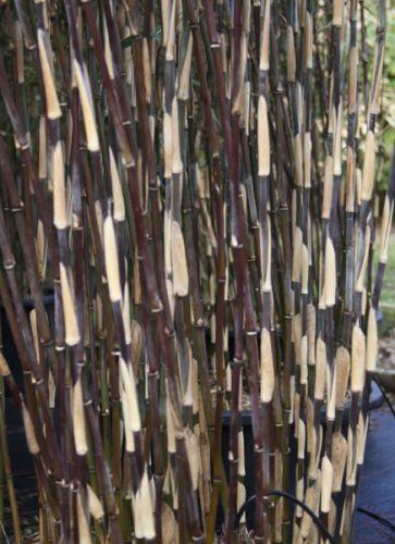 bambus pflanzenshop startseite kaufen. Black Bedroom Furniture Sets. Home Design Ideas