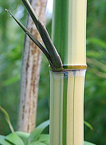 bambus pflanzenshop gro pflanzen solit re mit ausl ufer kaufen. Black Bedroom Furniture Sets. Home Design Ideas