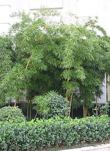 bambus pflanzenshop gro pflanzen solit re mit ausl ufern kaufen. Black Bedroom Furniture Sets. Home Design Ideas