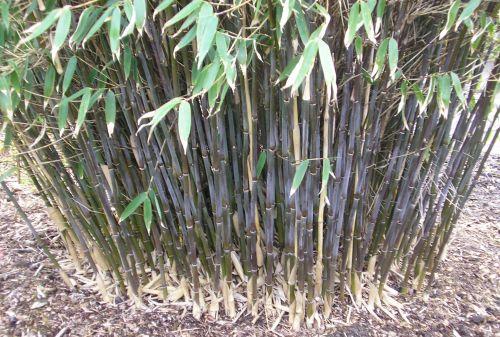 bambus pflanzenshop fargesia spathacea kaufen. Black Bedroom Furniture Sets. Home Design Ideas
