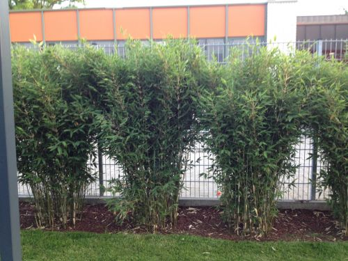 bambus pflanzenshop bambushecken ohne ausl ufer sichtschutz mit bambus kaufen. Black Bedroom Furniture Sets. Home Design Ideas