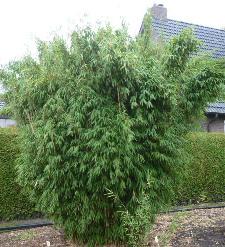 bambus pflanzenshop gro pflanzen solit re ohne. Black Bedroom Furniture Sets. Home Design Ideas