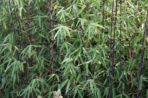 Bambus Pflanzenshop Bambushecken Ohne Auslaufer Nicht Wuchernder Perfekter Wind Und Sichtschutz Kaufen