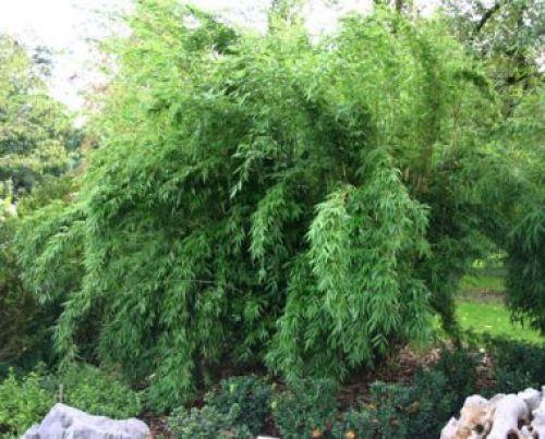 bambus pflanzenshop fargesia 2 4 m h he horstig keine. Black Bedroom Furniture Sets. Home Design Ideas