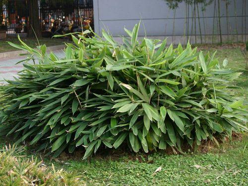Bambus Pflanzenshop Niedriger Bambus Und Bodendecker Kaufen
