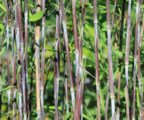 bambus pflanzenshop fargesia mit gartenbambus ohne. Black Bedroom Furniture Sets. Home Design Ideas
