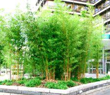 Bambus Pflanzenshop Winterharte Sorten Heckenpflanzen Und Bambus