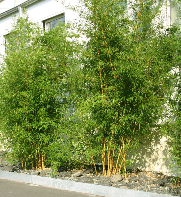 bambus pflanzenshop phyllostachys aureosulcata 39 aureocaulis 39 kaufen. Black Bedroom Furniture Sets. Home Design Ideas