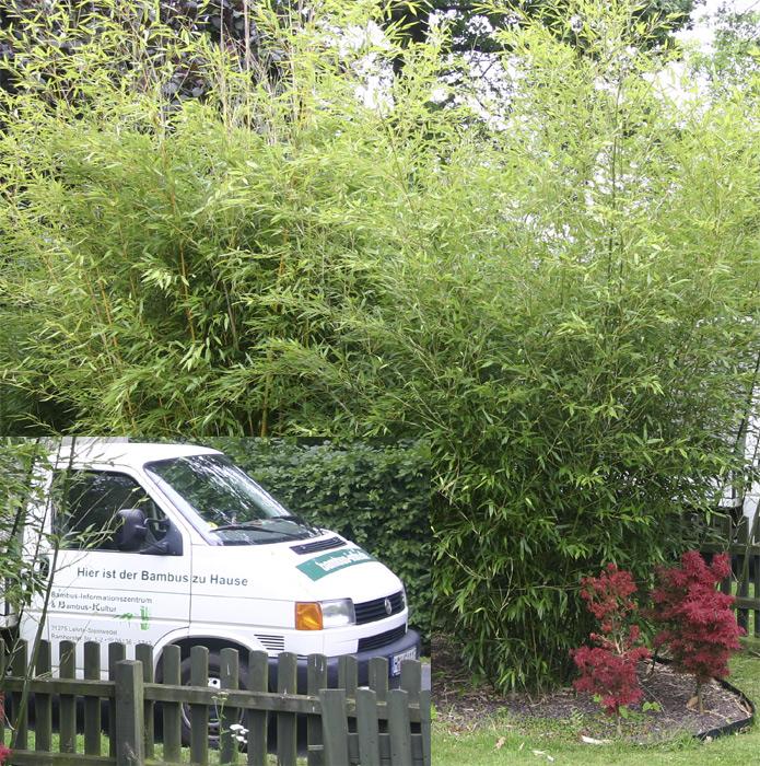 bambus pflanzenshop phyllostachys bissetii kaufen. Black Bedroom Furniture Sets. Home Design Ideas