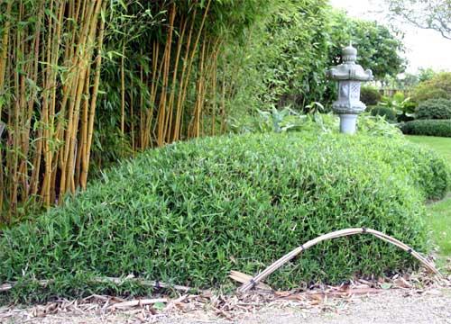 bambus pflanzenshop pleioblastus pygmaeus kaufen. Black Bedroom Furniture Sets. Home Design Ideas