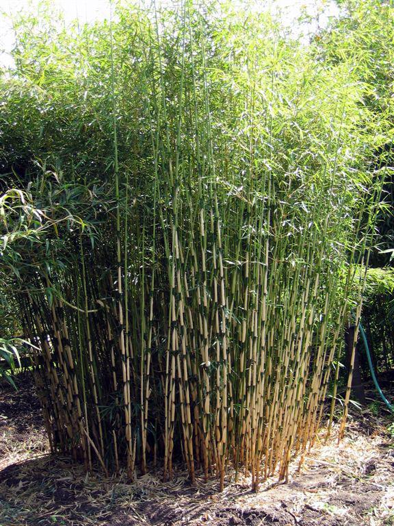 Bambus Pflanzenshop Fargesia Robusta Campbell Kaufen