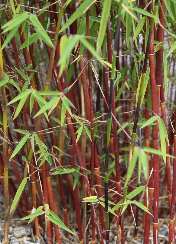 bambus pflanzenshop fargesia jiuzhaigou  jade