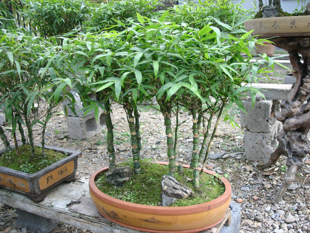 bambus pflanzenshop bambusa tuldoides ventricosa kaufen. Black Bedroom Furniture Sets. Home Design Ideas