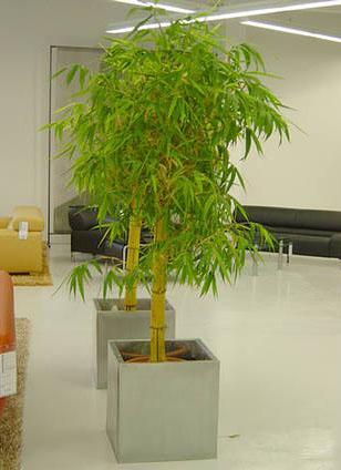 bambus pflanzenshop bambusa vulgaris 39 striata 39 kaufen. Black Bedroom Furniture Sets. Home Design Ideas