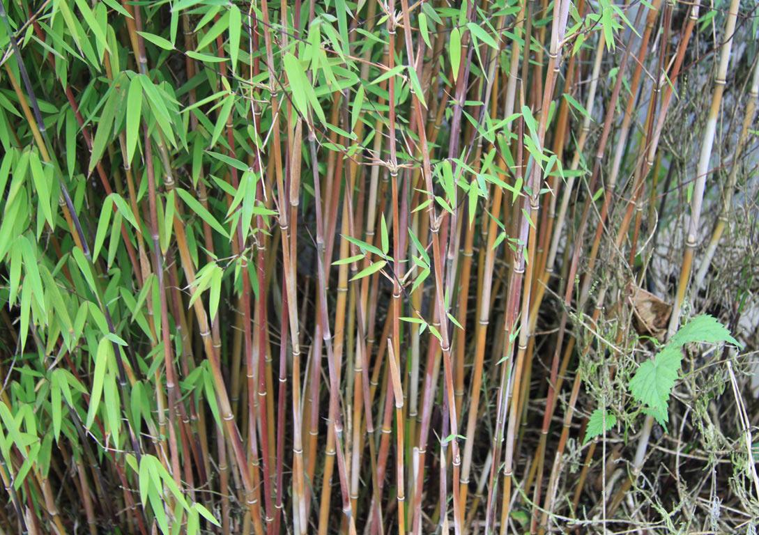 bambus pflanzenshop fargesia spez 39 jiuzhaigou 8 39 kaufen. Black Bedroom Furniture Sets. Home Design Ideas