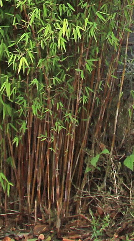 bambus pflanzenshop fargesia spez 39 jiuzhaigou 9 39 kaufen. Black Bedroom Furniture Sets. Home Design Ideas