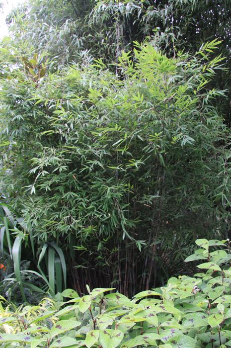 bambus pflanzenshop fargesia spec 39 taibashan 2 39 kaufen. Black Bedroom Furniture Sets. Home Design Ideas
