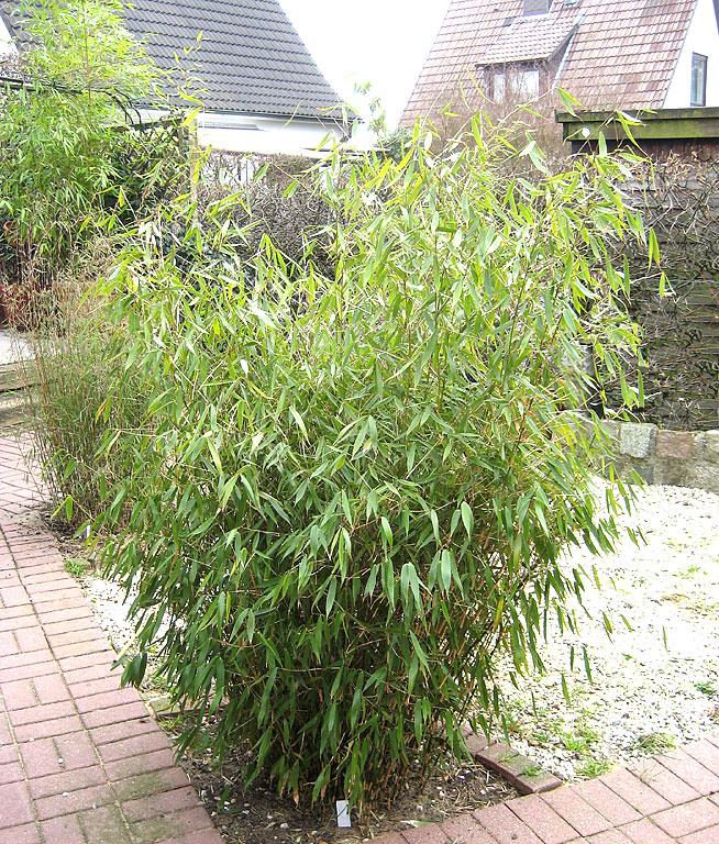 bambus pflanzenshop fargesia dracocephala 39 hanseat 39 kaufen. Black Bedroom Furniture Sets. Home Design Ideas