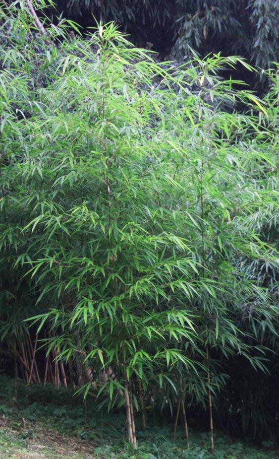 bambus pflanzenshop chimonobambusa neopurpurea kaufen. Black Bedroom Furniture Sets. Home Design Ideas