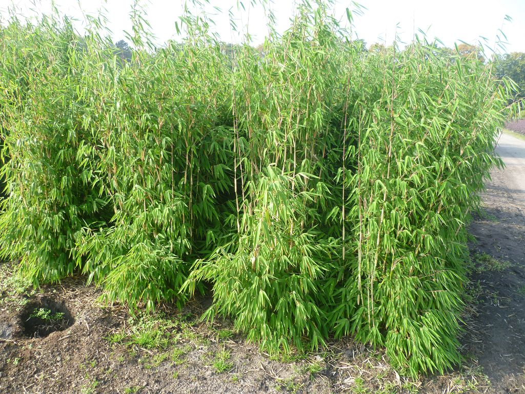 Bambus Pflanzenshop Fargesia Evergreen Bambus des Jahres 2017