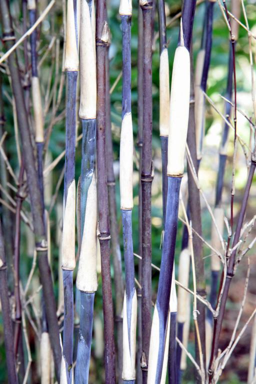 Bambus Pflanzenshop Fargesia Purple Dragon Kaufen