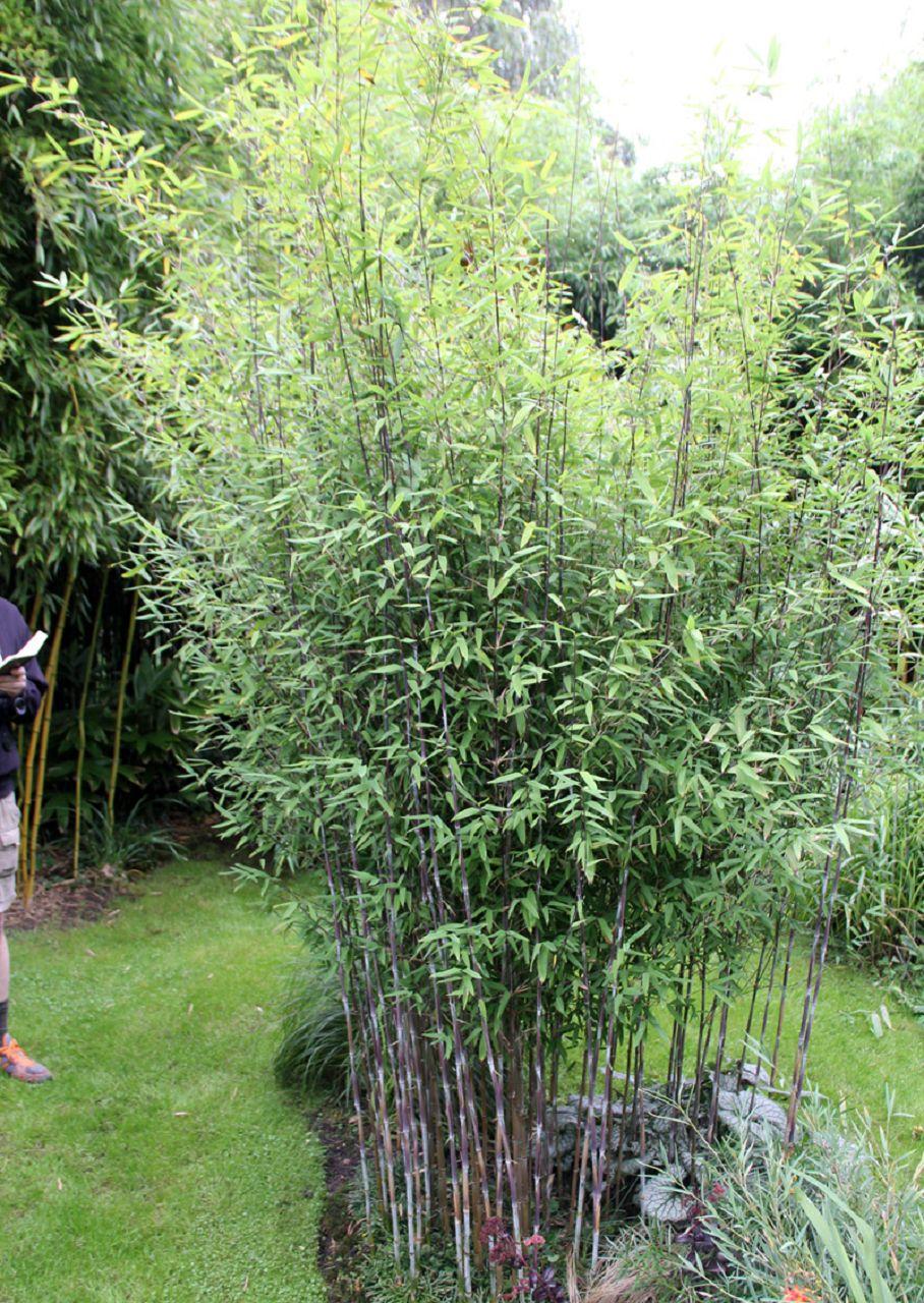 bambus pflanzenshop fargesia demissa 39 gerry 39 neu kaufen. Black Bedroom Furniture Sets. Home Design Ideas