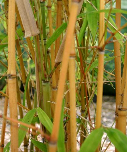 bambus pflanzenshop phyllostachys aurea 39 holochrysa 39 kaufen. Black Bedroom Furniture Sets. Home Design Ideas