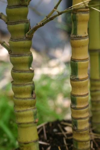 bambus pflanzenshop phyllostachys aurea 39 koi 39 kaufen. Black Bedroom Furniture Sets. Home Design Ideas