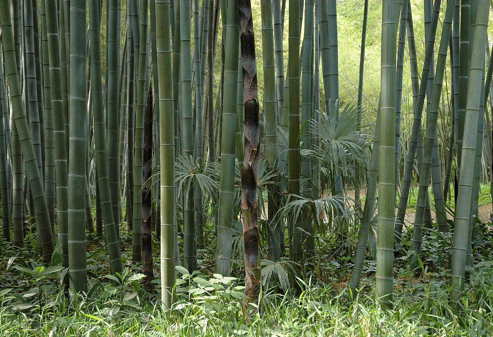 bambus pflanzenshop phyllostachys edulis pubescens kaufen. Black Bedroom Furniture Sets. Home Design Ideas