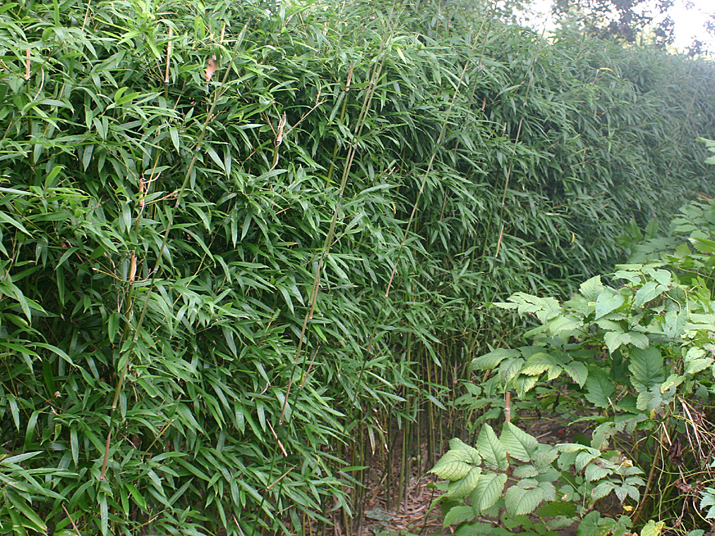 bambus pflanzenshop phyllostachys humilis kaufen. Black Bedroom Furniture Sets. Home Design Ideas