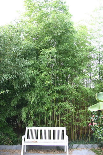 bambus pflanzenshop phyllostachys iridescens kaufen. Black Bedroom Furniture Sets. Home Design Ideas