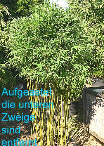 bambus pflanzenshop fargesia murielae 39 standing stone 39 kaufen. Black Bedroom Furniture Sets. Home Design Ideas