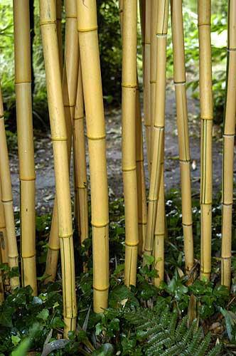 bambus pflanzenshop phyllostachys vivax 39 aureocaulis 39 kaufen. Black Bedroom Furniture Sets. Home Design Ideas