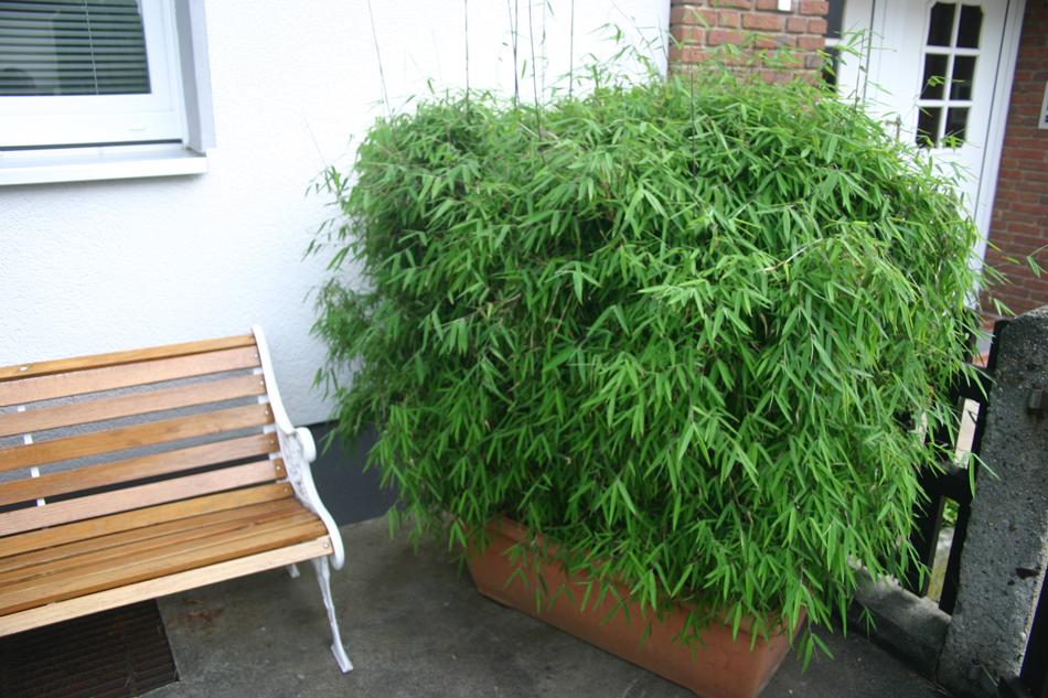 bambus smaragd gr ser im k bel berwintern. Black Bedroom Furniture Sets. Home Design Ideas